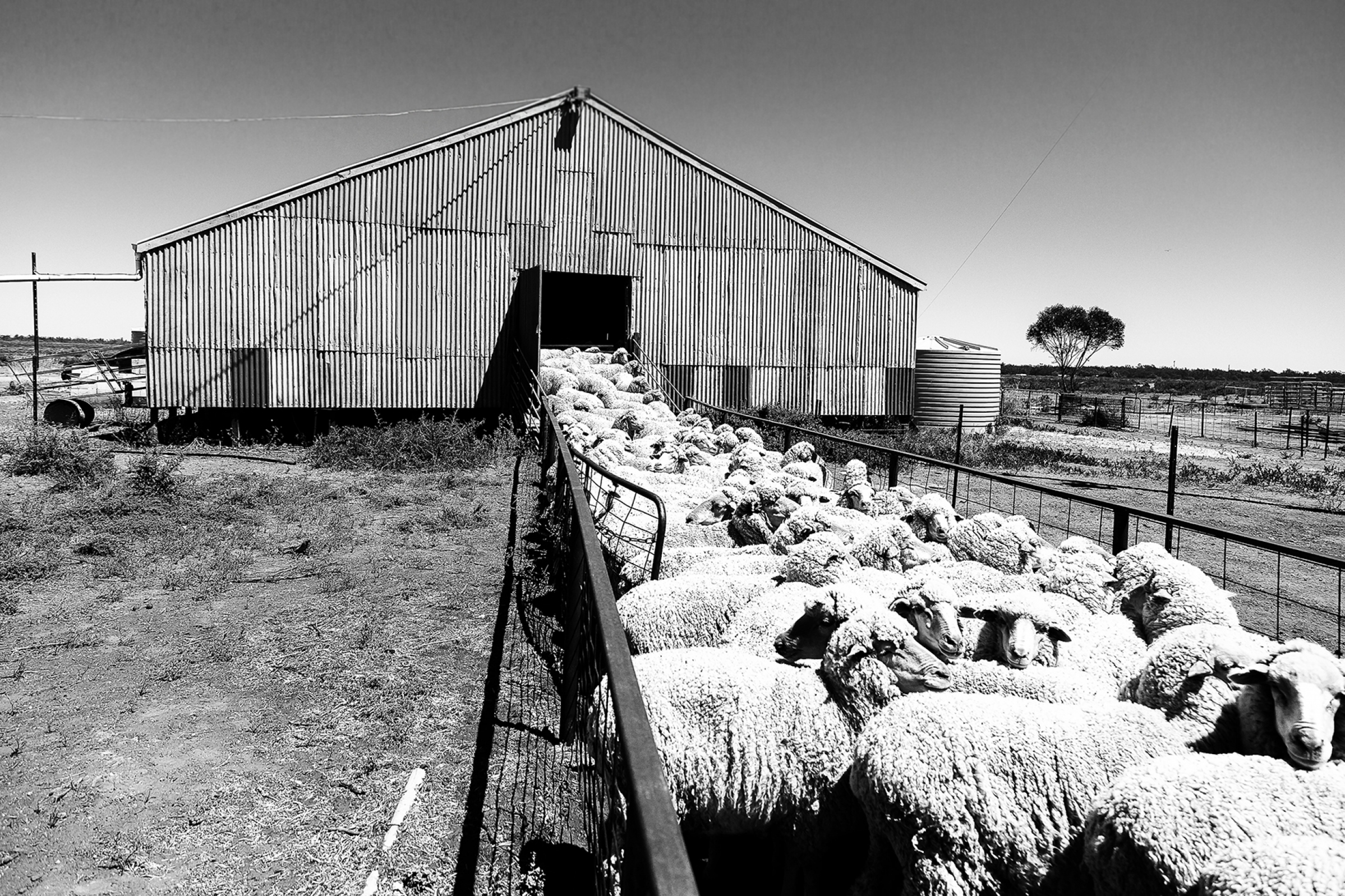 gallery/2014_shearing oxley-002